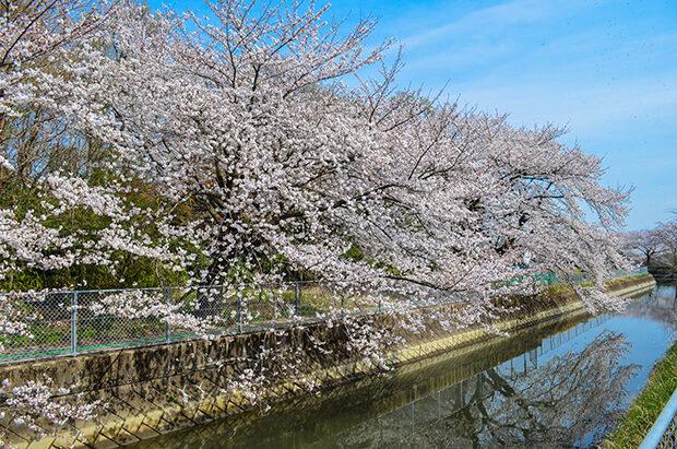 20km나 이어져 있는 미누마 논에서 벚꽃 회랑