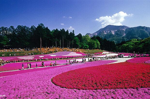 벚꽃 융단 지치부 잔디 벚꽃