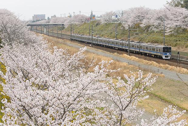 호쿠소 선과 벚꽃