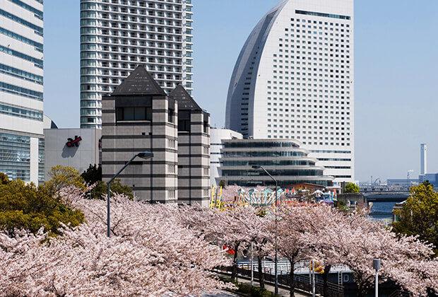 미나토미라이 고층 빌딩 군과 벚꽃