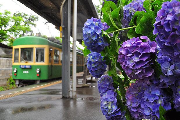 紫阳花与300型列车