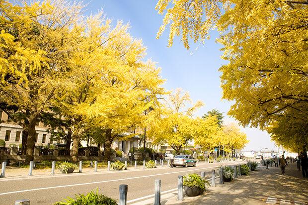日本大道黄灿灿的银杏树