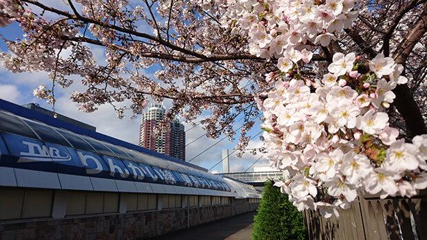 櫻花綻放的台場