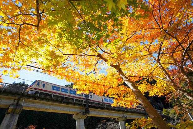 รถไฟฟ้าขบวนด่วนพิเศษเรดแอร์โรว์  แล่นท่ามกลางใบไม้เปลี่ยนสี