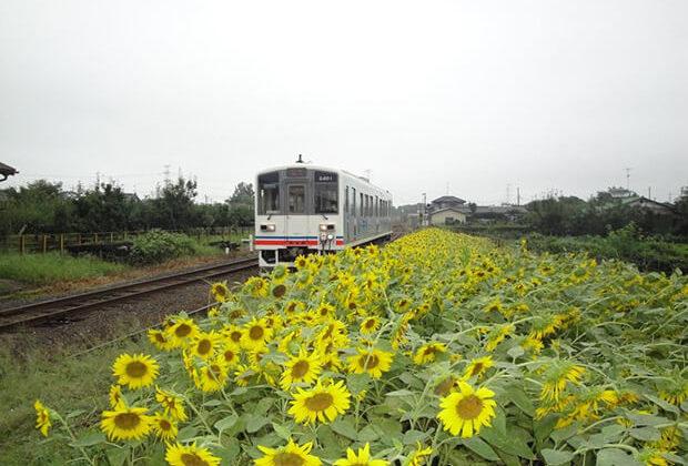 ดอกทานตะวันที่บานสะพรั่งกับรถไฟฟ้าขบวน KIHA 2401
