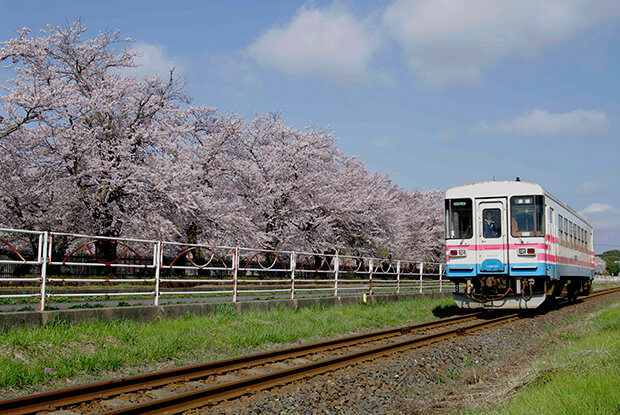 รถไฟฟ้าแล่นกลางทิวแถวต้นซากุระในฤดูใบไม้ผลิ