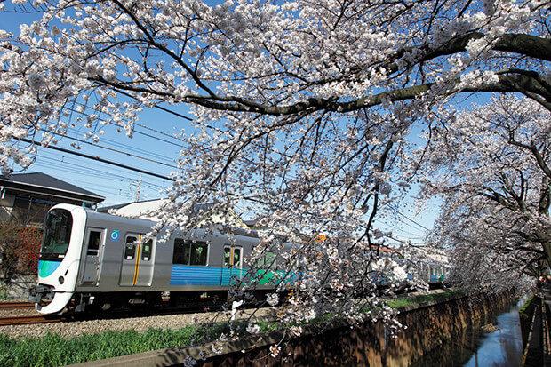 桜が咲き誇る新宿線沿線