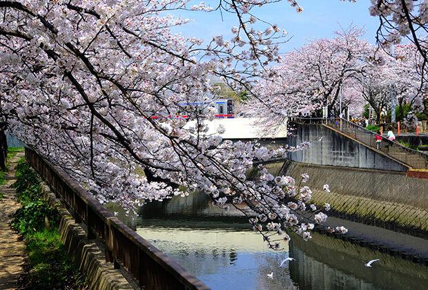 桜とカモメと京成電車 3700形
