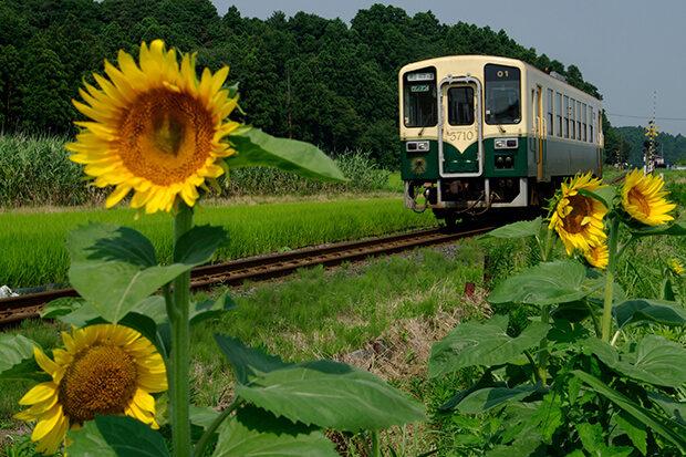 夏にひまわりの花が咲く